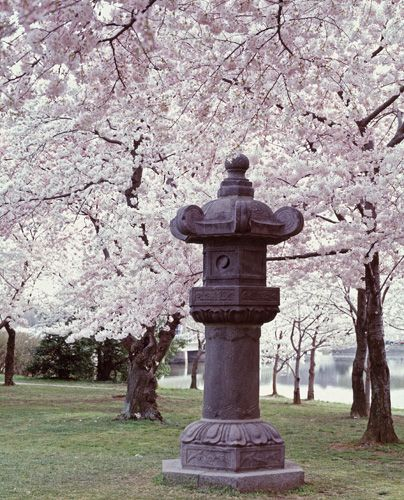 Take Family Trip To Dc While Cherry Blossoms Are In Full Bloom Cherry Blossom Festival Blossom Cherry Blossom