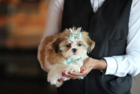 Adorable Imperial Shih Tzu Bring This Perfect Baby
