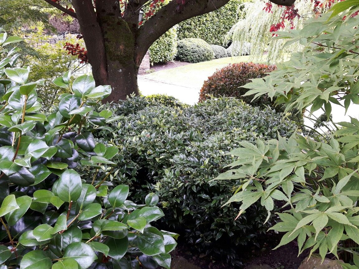 In the driest part of the border right under the tree several plants of  skimmia japonica