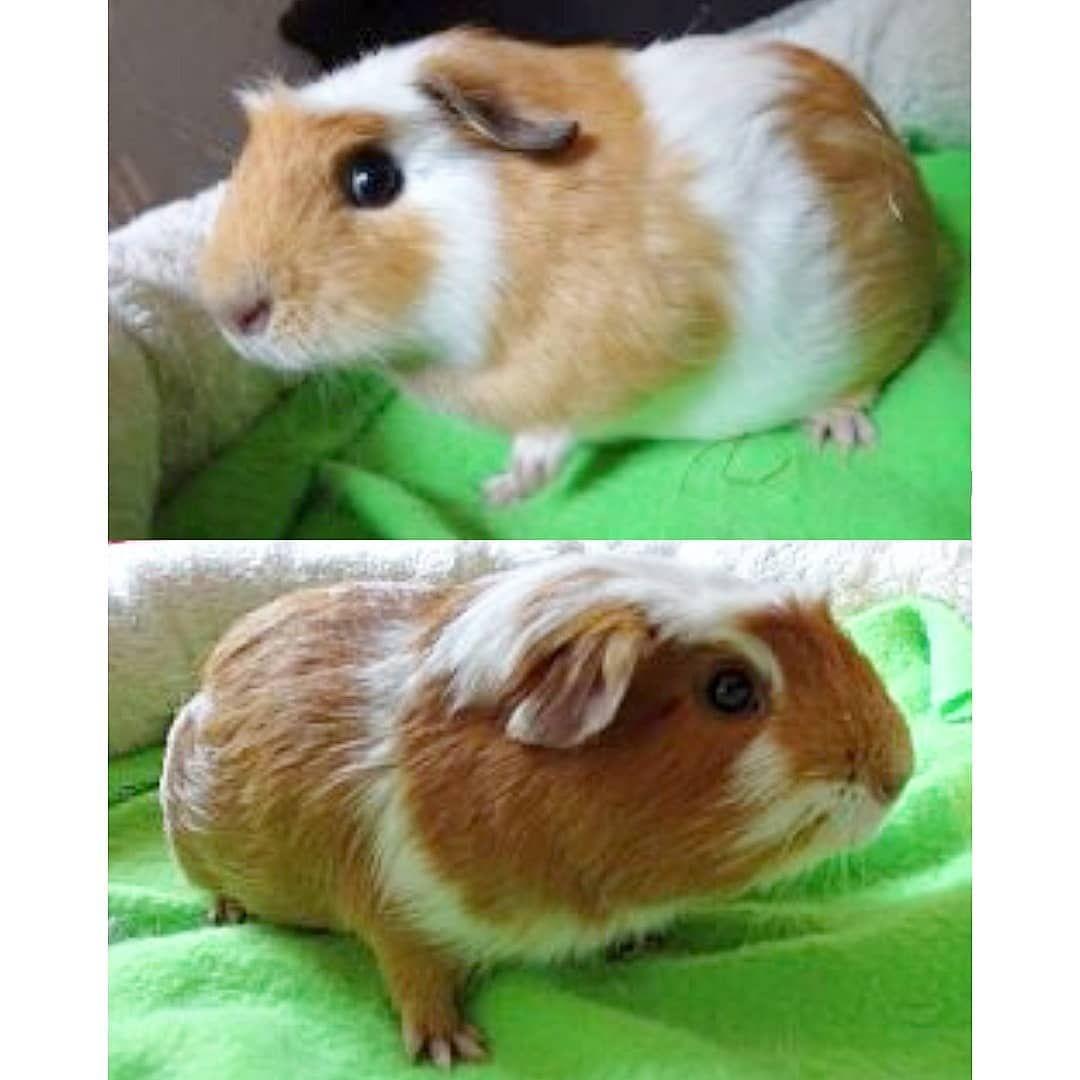 Die Beiden Kleinen Entdecker Kolumbus Und Vespucci Wurden Im Oktober 2019 Im Tierheim Des Tierschutzvereins Hoffnung Fur Tier In 2020 Tierheim Tiere Meerschweinchen