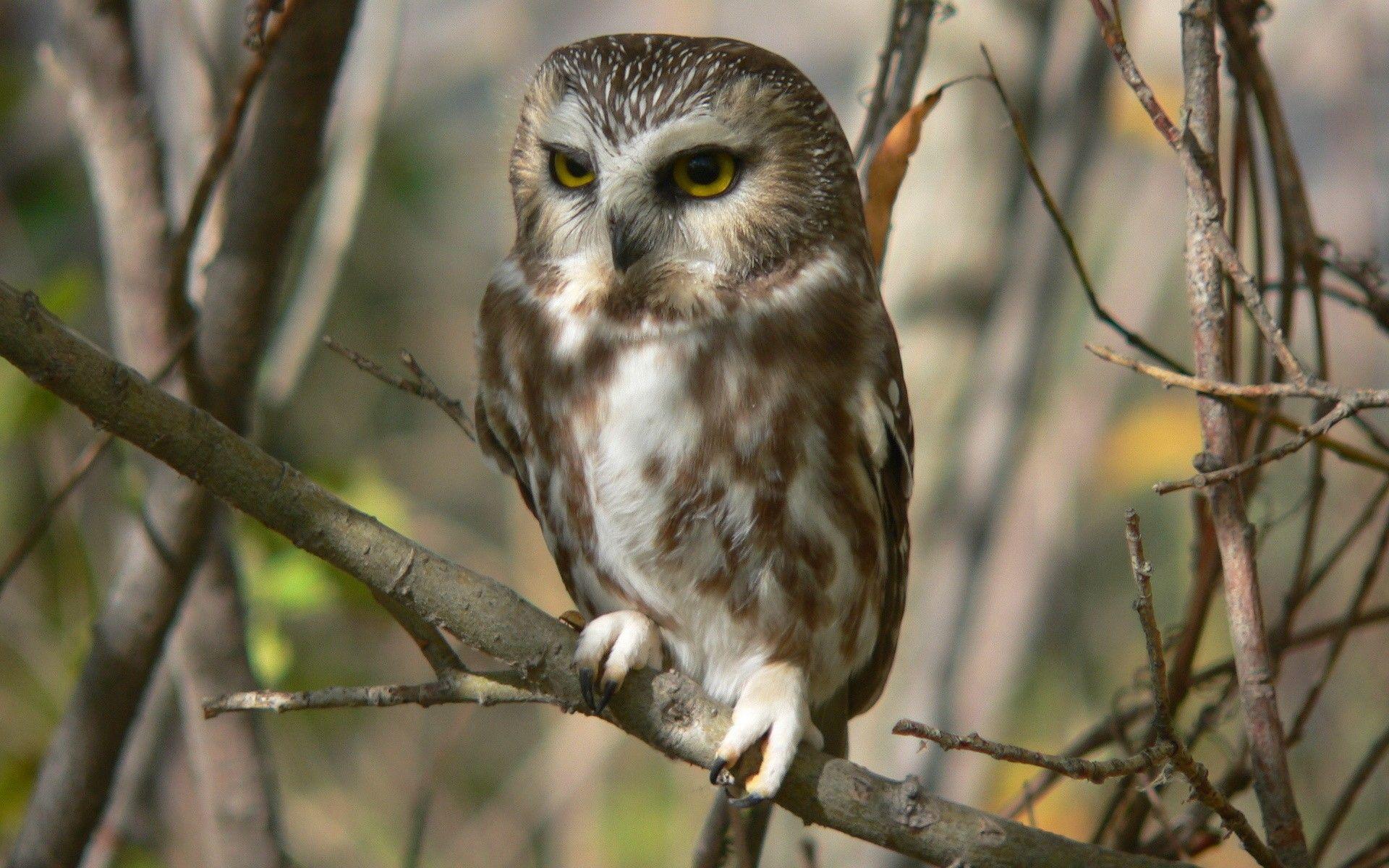 Birds Owls 00425238 Wallpapers HD 1080p