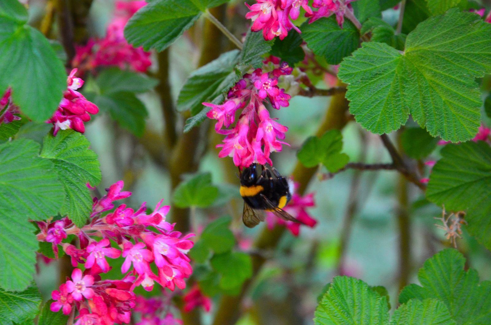Pin Auf Bienenfreundliche Straucher