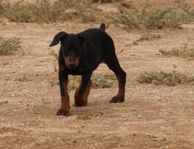 Ghim Tren Doberman Pinscher Puppies For Sale