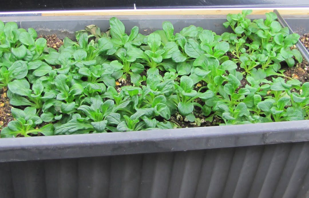 Sow This!: 2011 Seed and Indoor Lettuce