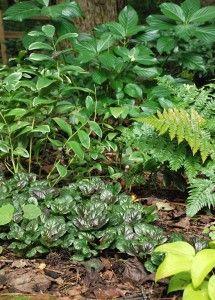 groundcovers-ajuga