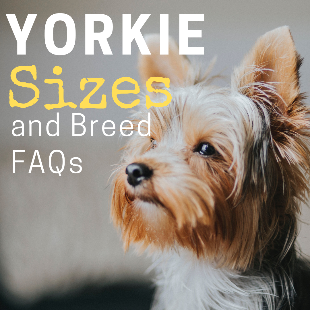 Yorkie Sizes Big Standard And Small Yorkshire Terriers In 2020 Yorkshire Terrier Puppies Yorkie Yorkie Terrier