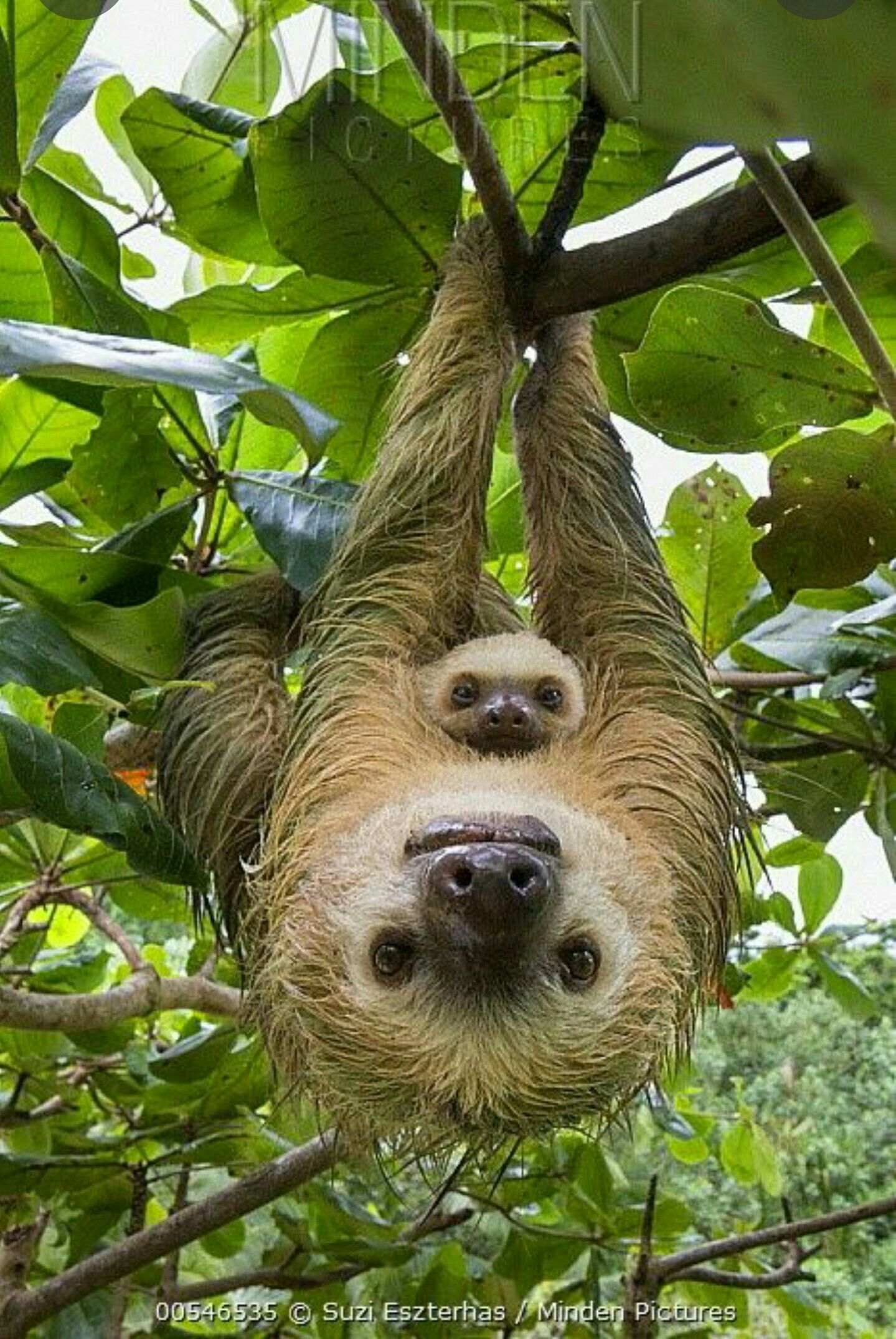 Mother and baby Sloths #cutesloth