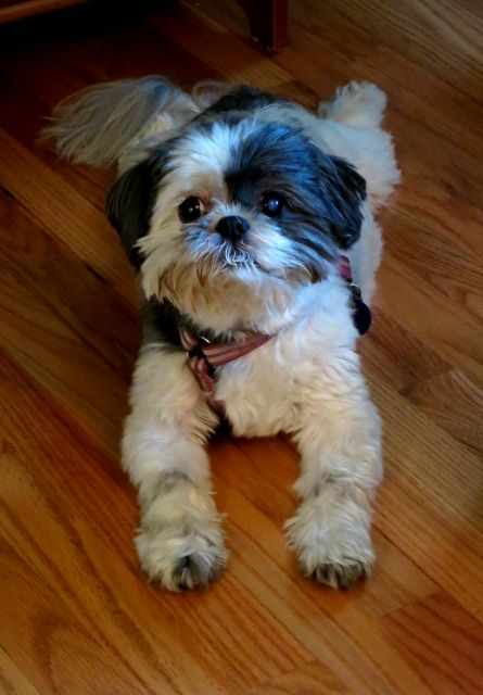 My dog Muffin. She's a shih tzu :)
