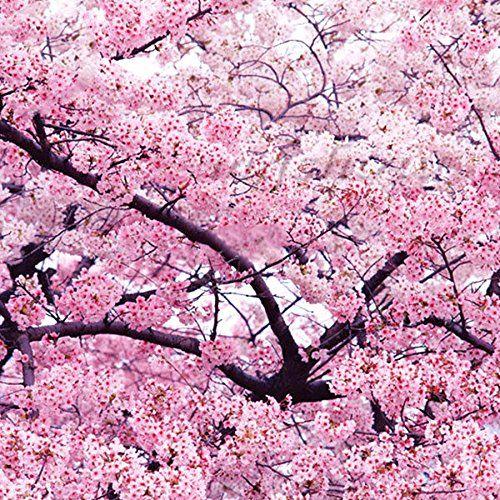 New Rare Hierloom Japanese Pink Cherry Blossom Sakura Tree 20 Seeds Oriental Sweet Prunus Flower Seeds E3752 Sakura Tree Smoke Tree Tree Wallpaper