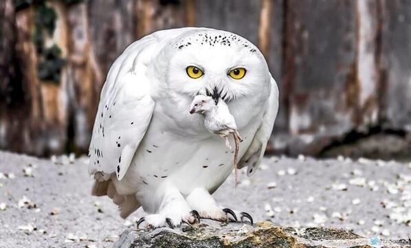 صورة رائعة من ألمانيا لطائر البوم الثلجي الأبيض بعد مطاردة ناجحة لإحدى الفئران البرية Snowy Owl Owl Images Owl