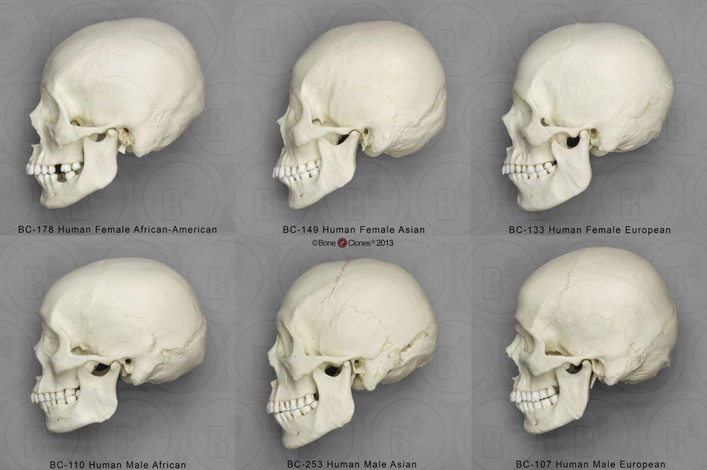 Human Male and Female Skulls: African, Asian, and European - Bone ...
