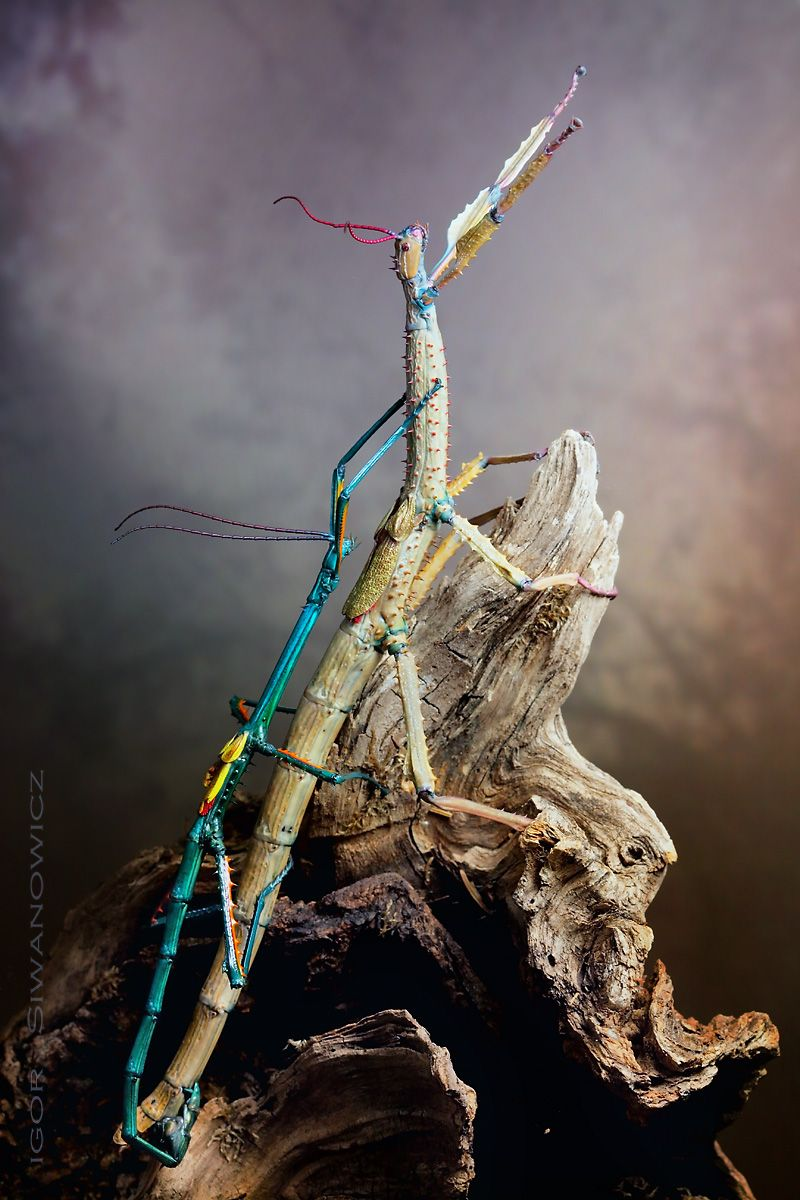 Achrioptera Fallax Mating Photo Net Stunning Insects Insect