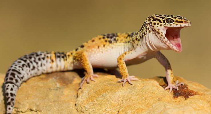 How To Care For A Leopard Gecko Reptile Centre Leopard Gecko Gecko Pet Lizards