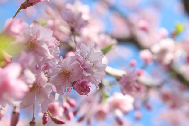 Cherry Trees Are Blooming In Jackson Park But Not For Long Hyde Park Dnainfo Chicago Cherry Tree Hyde Park Bloom