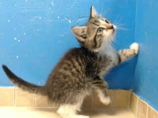 TO BE DESTROYED 10/8/13 Brooklyn Center  My name is MITCH. My Animal ID # is A0980843. I am a male brn tabby and white brn tabby. The shelter thinks I am about 5 WEEKS old.  I came in the shelter as a STRAY on 10/02/2013 from NY 11413, owner surrender reason stated was STRAY. I came in with Group/Litter #K13-155402. https://www.facebook.com/PetsOnDeathRow/photos/a.576546742357162.1073741827.155925874419253/676104849068017/?type=3&theater