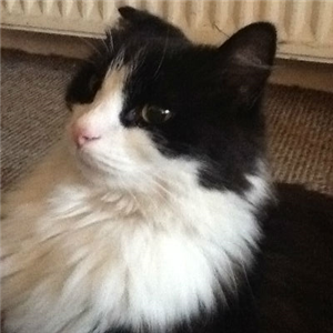 Spikey A 9 Year Old Black White Long Haired Male Cat Cat