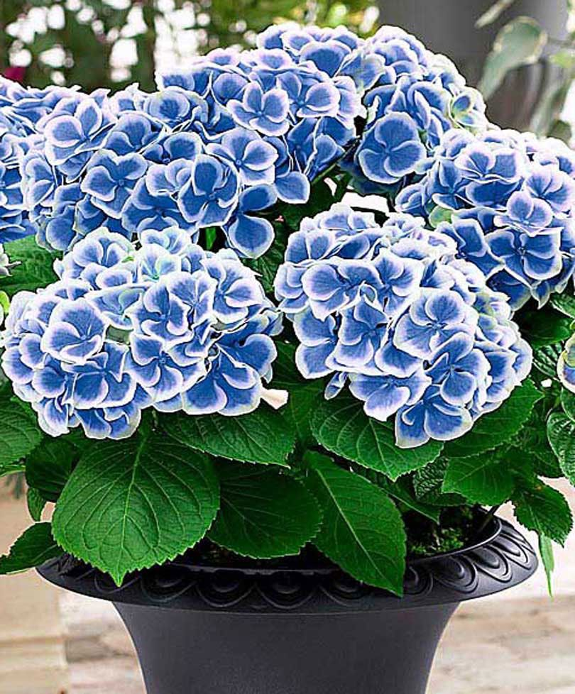Bicolour Hydrangea Bavaria Trees And Shrubs From Bakker Spalding Garden Company Growing Hydrangeas Hydrangea Flower Hydrangea Garden