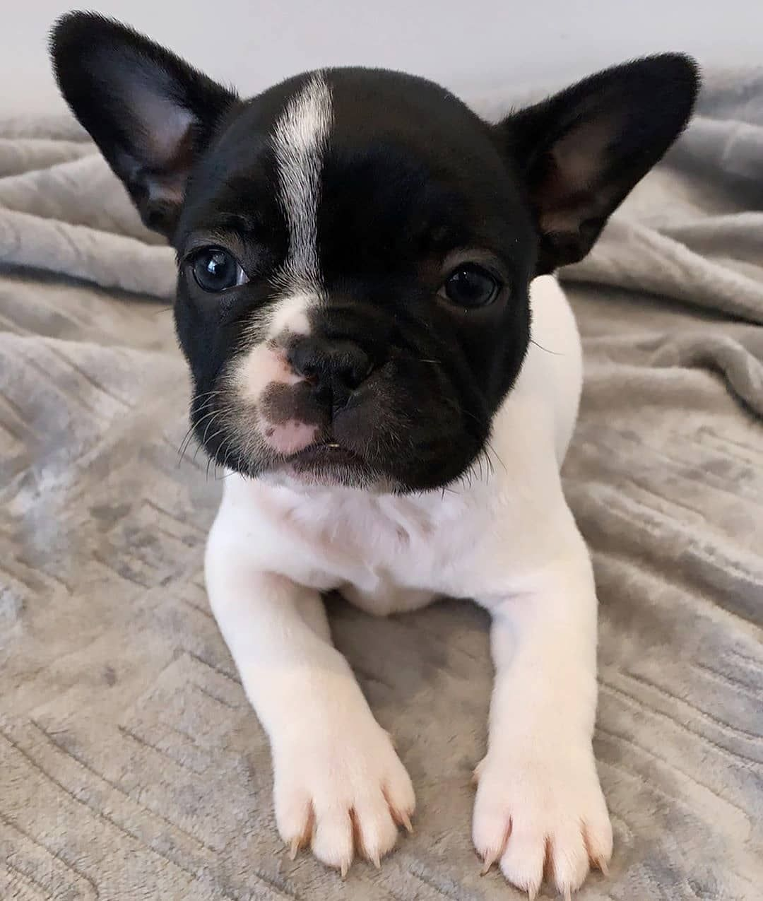 "Bulldogs Villa on Instagram ""WE LOVE FRENCHIES CANADA"
