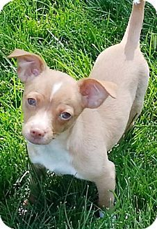 Omaha Ne Chihuahua Rat Terrier Mix Meet Taquito A Puppy For