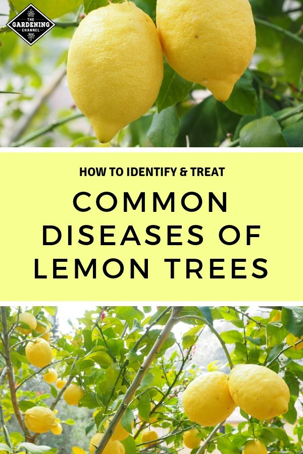 Common Diseases Of Lemon Trees With
