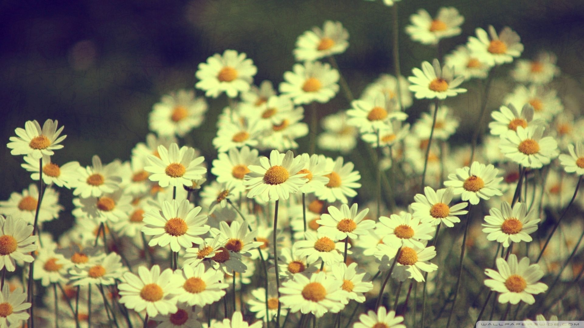 Vintage daisies photography wallpaper hd flower power pinterest vintage daisies photography wallpaper hd izmirmasajfo