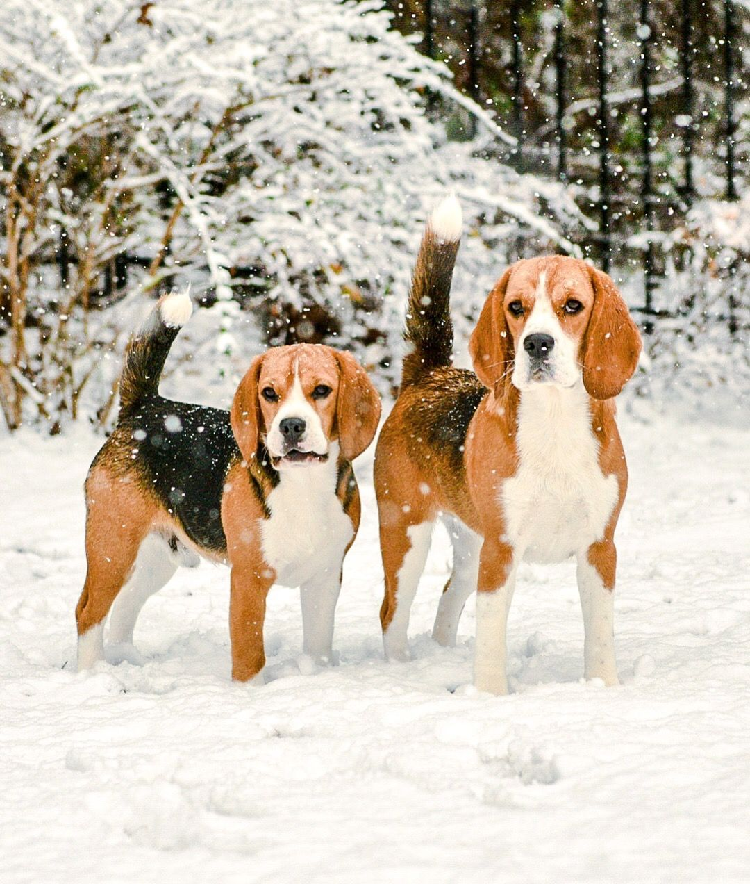 Bella And Luigi These Beagles Are Great Pals And Enjoyed An