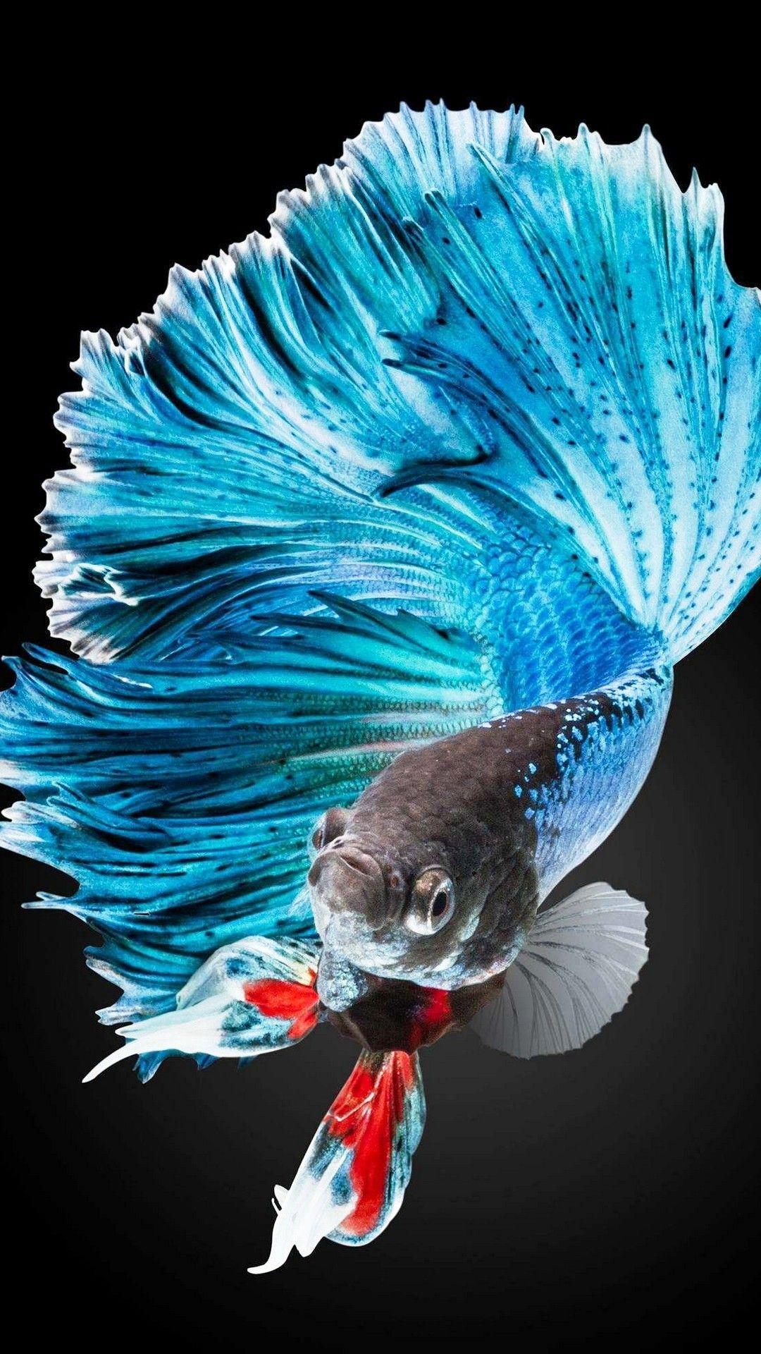 Iphone 6s Plus Screen Lock Wallpaper Beta Fish Betta Fish