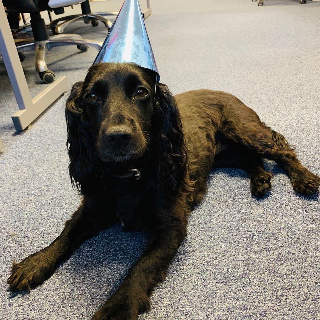 Happy Birthday To Viovet Office Dog Purdey Viovet Viovetuk Petsupplies Petsofinstagram Dogsofinstagram Dogsof Affili With Images Pet Supplies Pets Office Dog
