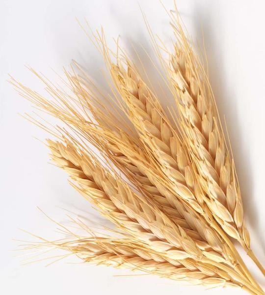 пшеница - Поиск в Google