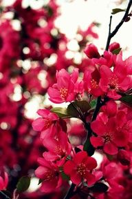 Crab Apple Tree #colors