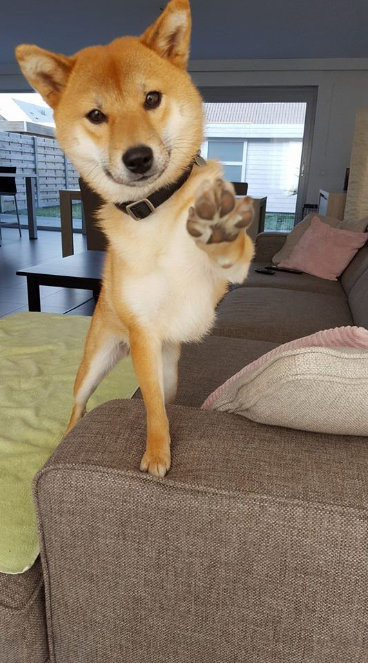 Beautiful Shiba Inu Giving Everyone A Paws Up Shiba Inu Shiba