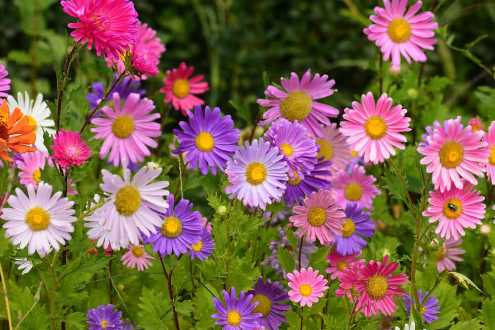 15 Winter Flowers For Indian Gardens Annuals Perennials Aster Flower Mosquito Plants