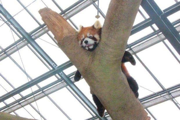 至近距離で観察可能 神戸どうぶつ王国に新エリア アジアの森 レッサーパンダ かわいい レッサーパンダ 可愛すぎる動物