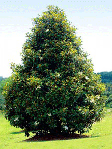 Brackens Brown Beauty Magnolia Mature Height 40 50 Ft Mature
