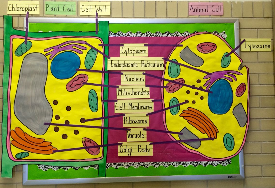 Cell Biology Bulletin Board for My 7th grade classroom. | My School ...