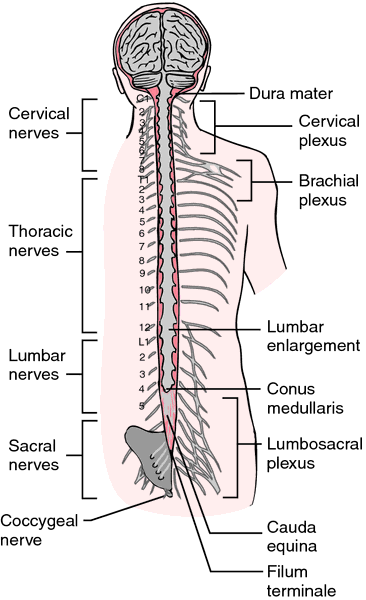 Congenital spinal stenosis | definition of congenital spinal