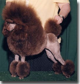 A Brown Miniature Poodle In A Continental Trim Poodle Miniature