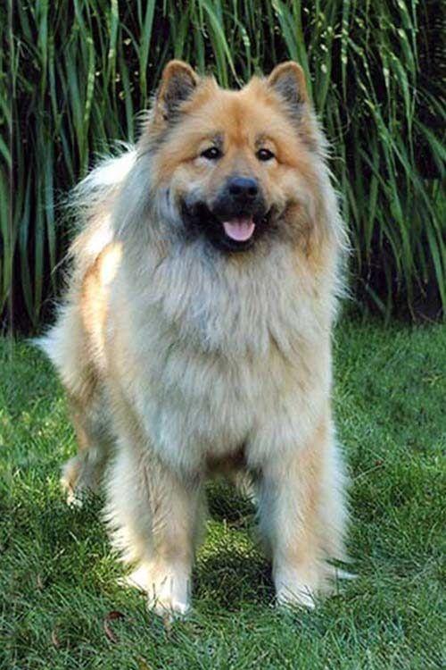 Eurasier Dog Breed Information Eurasier Hunderassen Eurasier Hund