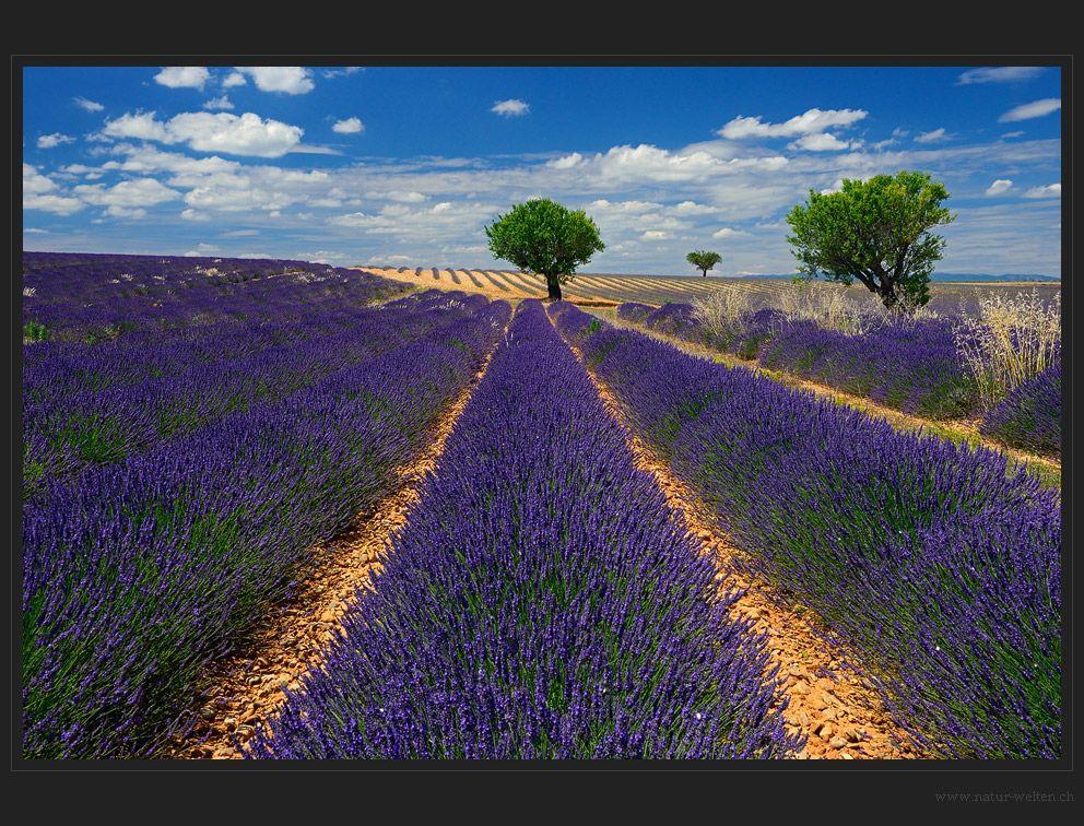Lavendelidylle von Stefan Grünig