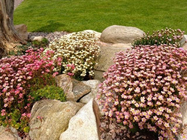 steingarten anlegen polstestauden rosa blüten garten Pinterest