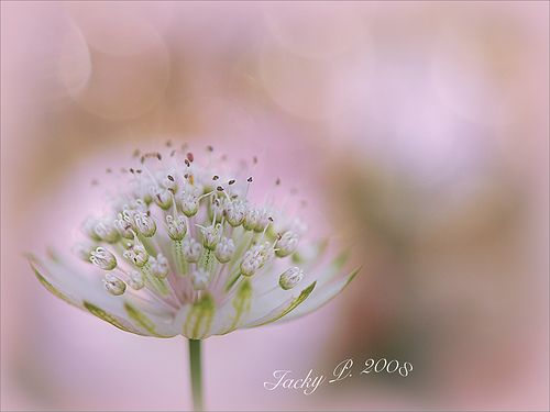 Astrantia Dreams | Flickr - Photo Sharing!