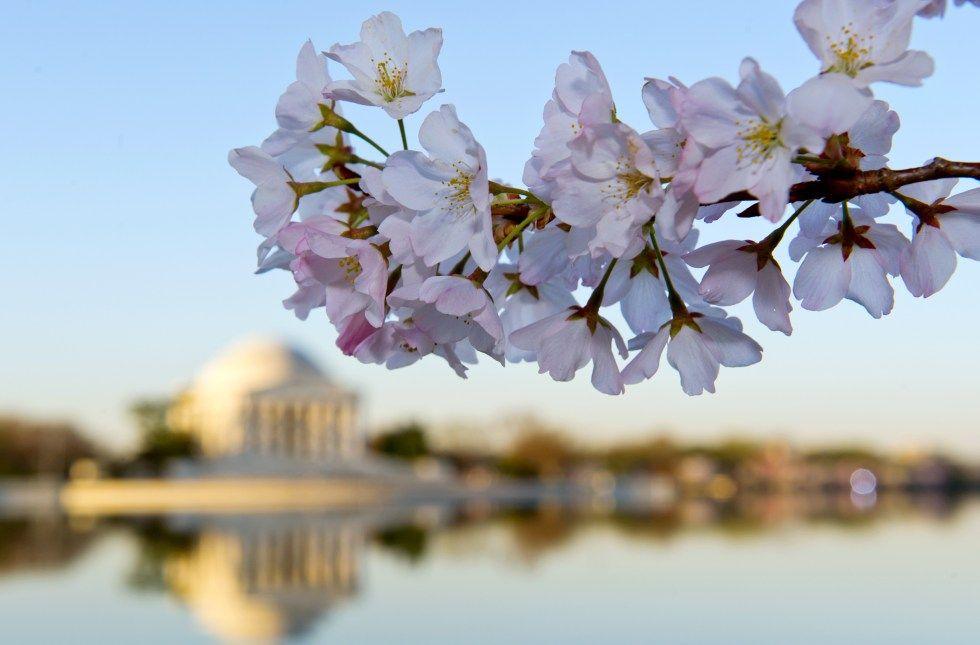 Washington S Cherry Blossoms Look Like Something Out Of A Dream Washington Dc Cherry Blossom Washington
