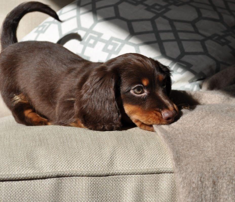 Playful Dachshund Pup Dachshundpups Dachshund Dog Dachshund