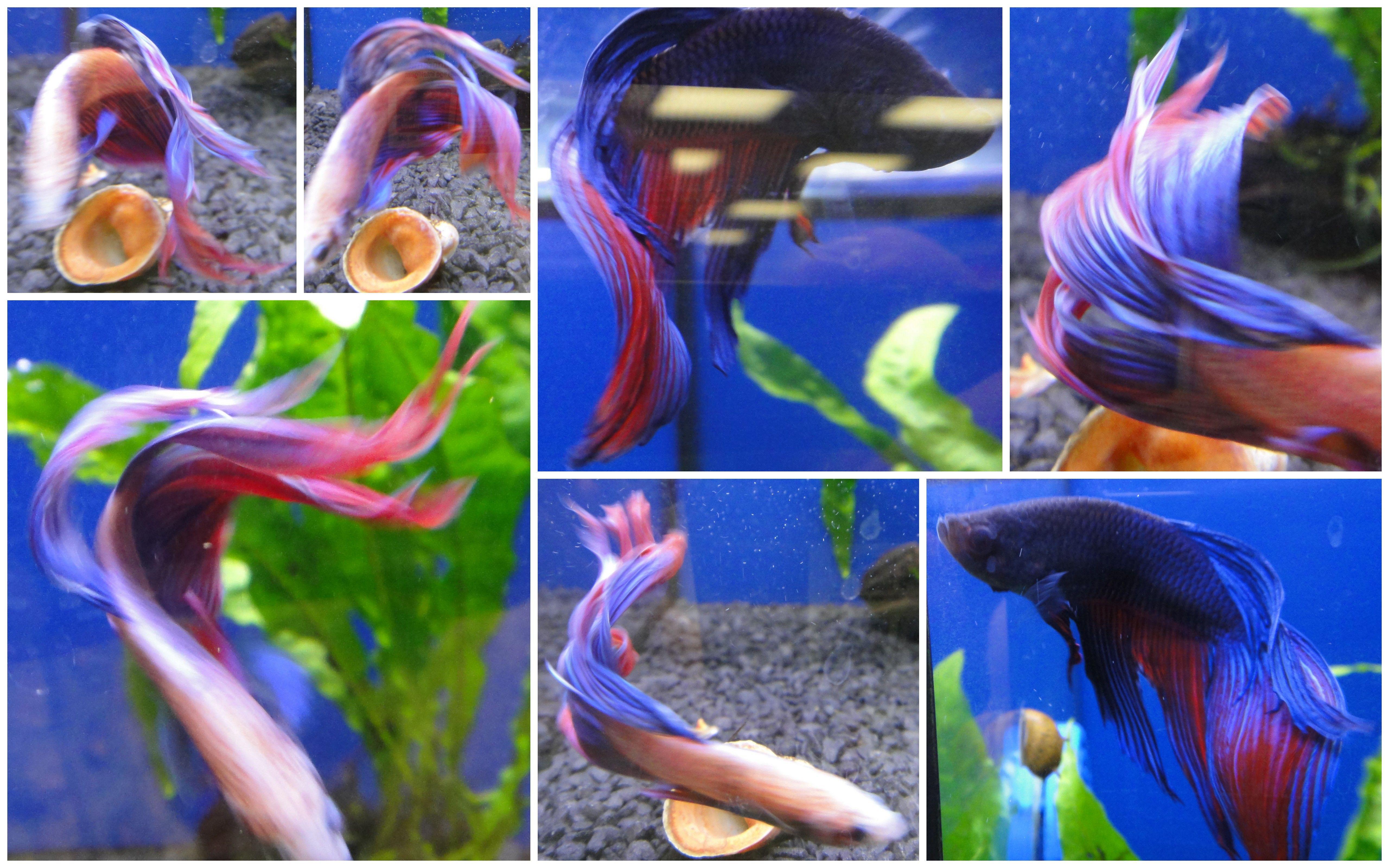 Pets at Home Male Fighting Fish Blue aquarium