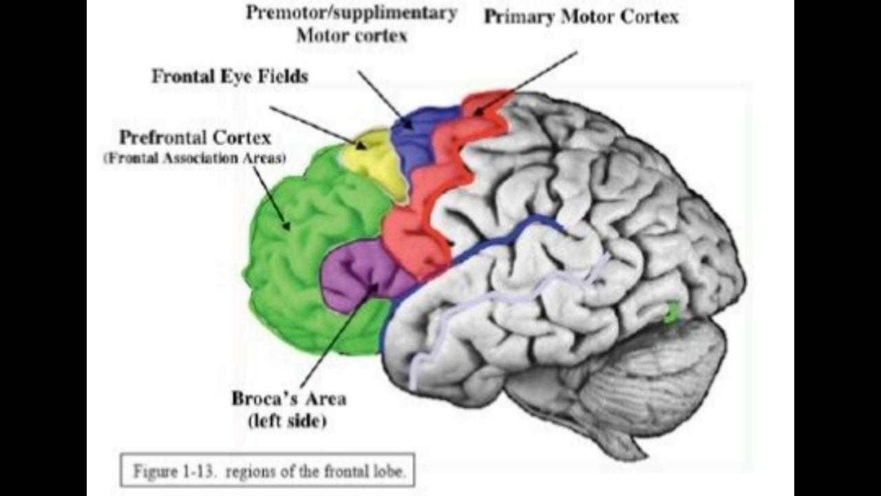 Image result for prefrontal cortex function | Motor cortex ...
