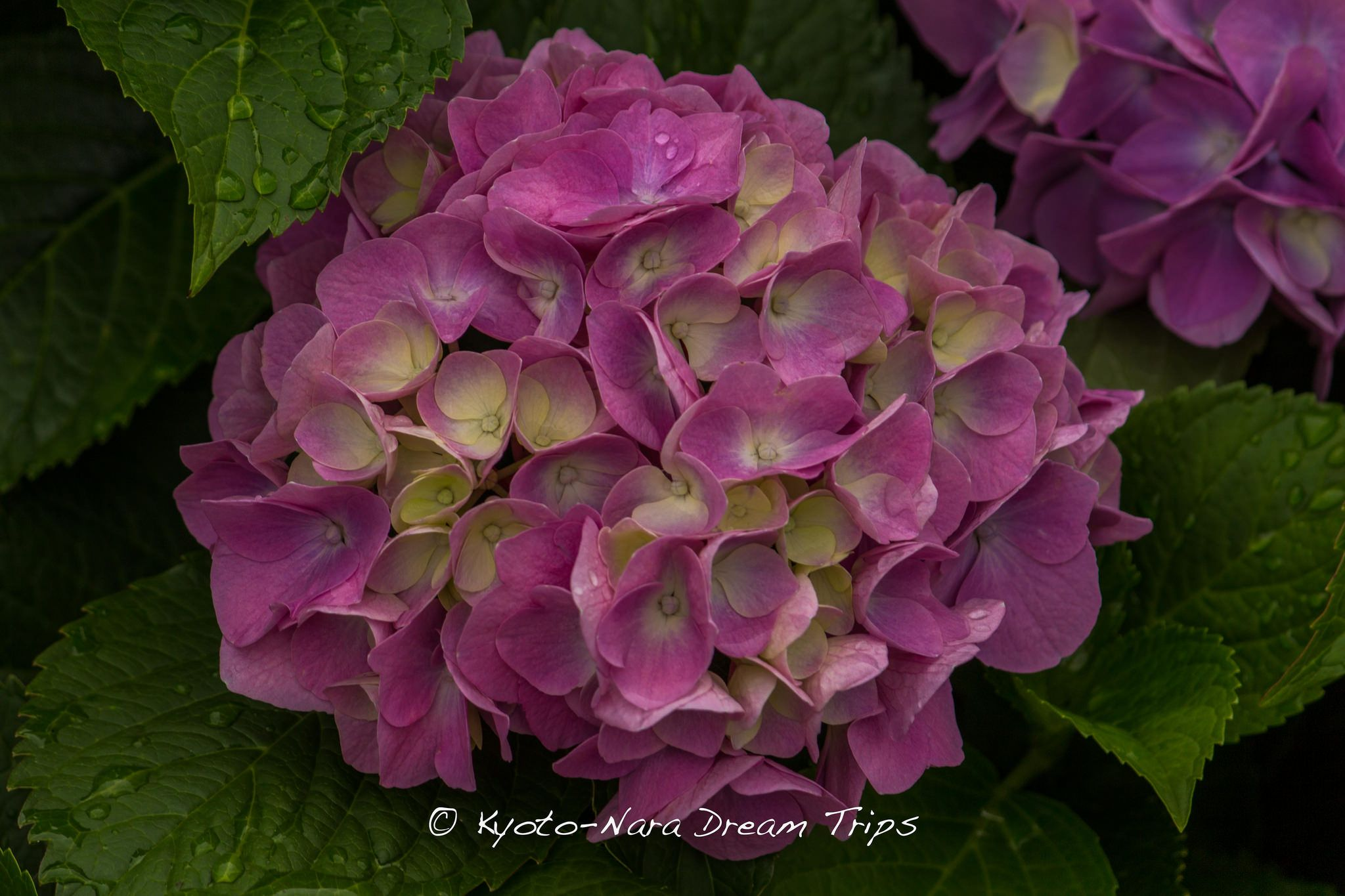 """Hydrangea at the famous gardens of Sanzen-in (三千院) in Rural Ōhara in Kyoto. Pink hydrangeas have many different meanings, but generally mean, """"You are the beat of my heart,"""" as described by the celebrated Asian florist Tan Jun Yong, where he was quoted saying, """"The light delicate blush of the petals reminds me of a beating heart, while the size could only match the heart of the sender!"""""""