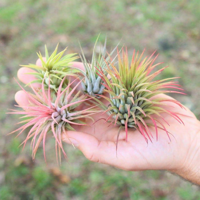Air Plant Tillandsia Ionantha Guatemala-Air Plants-Wholesale-Bulk-Terrarium Air Plants-Wedding Decor-Air Plant-Wedding-Plants-Home Decor