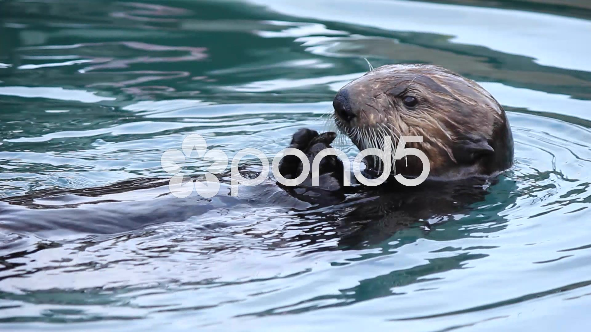 Northern Sea Otter Eating Octopus Photograph by Paul Weaver |Sea Otters Eating Bears
