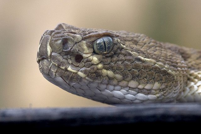 How To Identify Venomous Snakes Us With Images Snake Venom