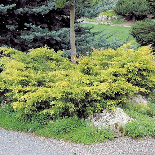 Juniperus x media Old Gold Jeune plante en godet. Genévrier Old Gold est un conifère rampant feuillage dorée